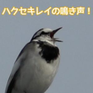 鳴き声 ハクセキレイ 逃げない鳥!?ハクセキレイ!生態や餌は?鳴き声は?